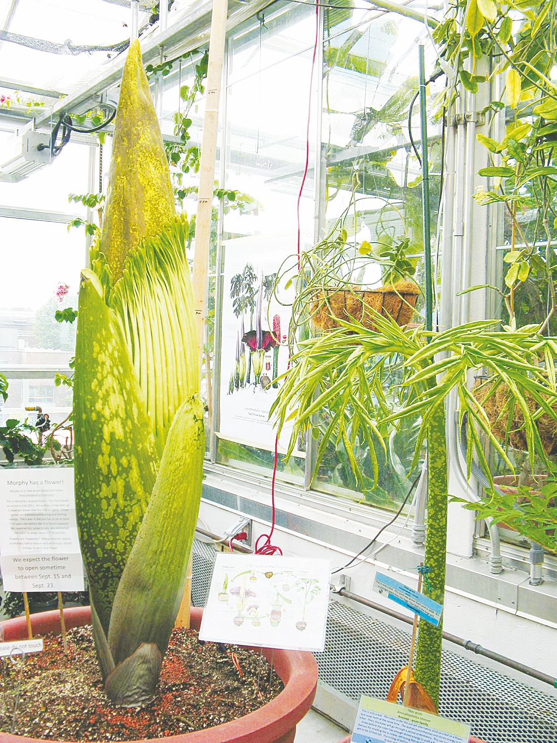 Rare Corpse Flower About To Bloom At Dartmouth College
