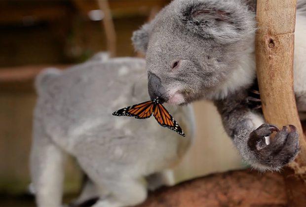 Koala joey butterfly