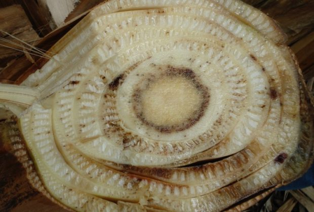 Cross section of an infected banana by the fungus that causes Fusarium wilt. Gert Kema, CC BY