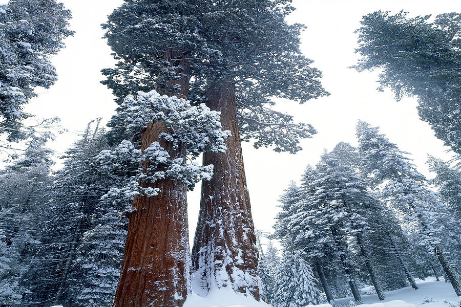 sequoia-winter-jim-zuckerman